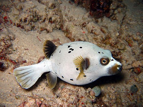 Unfathomable Puffer Fish Fish Dog Face
