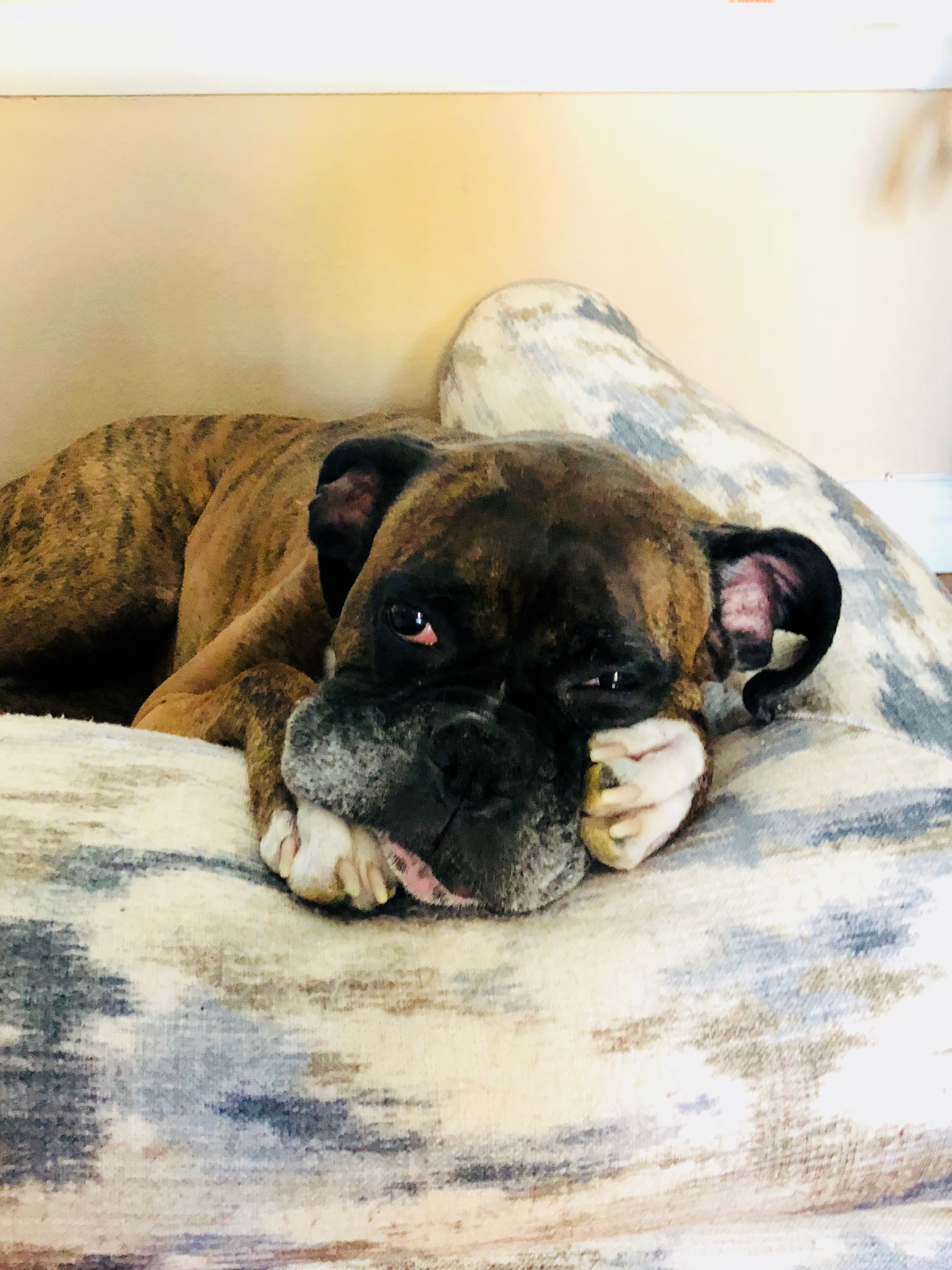 My 9 Years Old Boxer Sunny Boxer Puppies Boxer Dogs Boxer