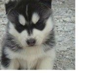 Siberian Husky Breeders Siberian Husky Puppies For Sale India