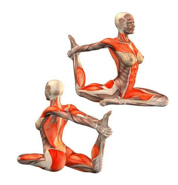 Ekahastapada kapotasana   Resultado anatomia poses yoga   Pinterest ...
