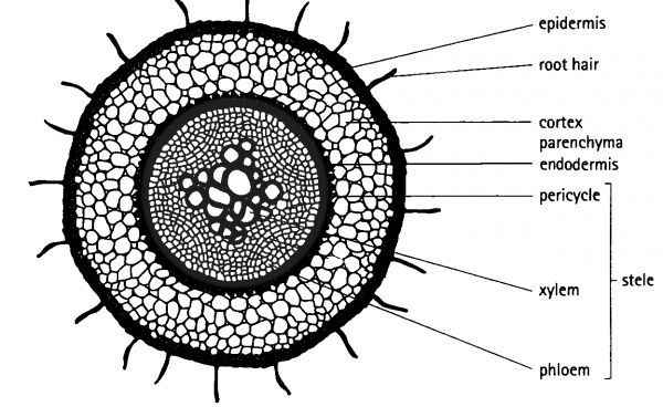 Dicot Root Diagram Root Diagram Parts Of A Flower Plant Science