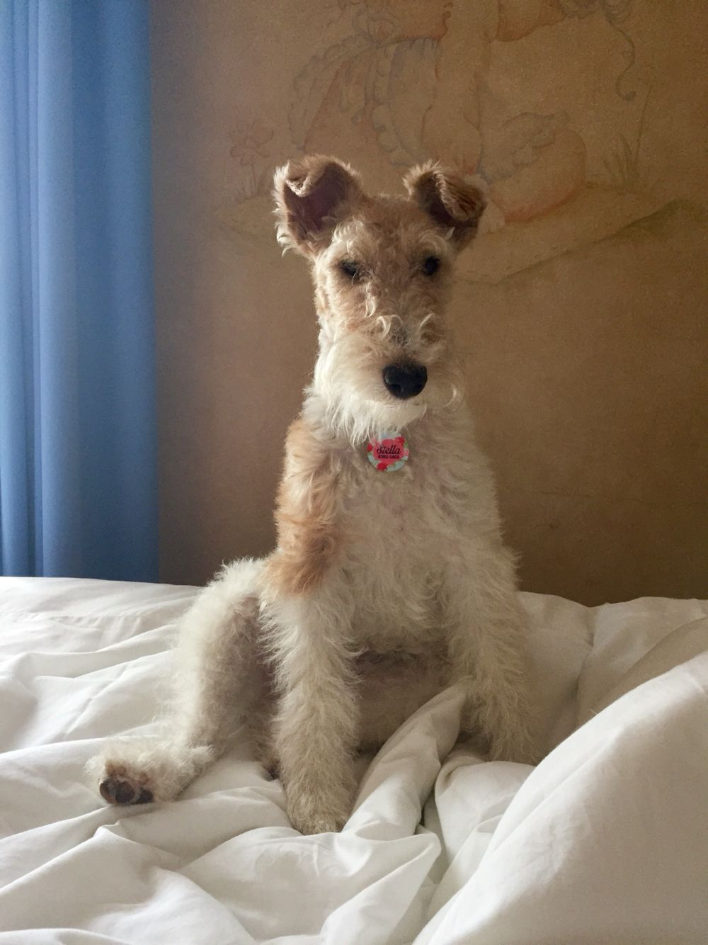Stella (Wire Fox Terrier) | All Creatures Great and Small, the ...