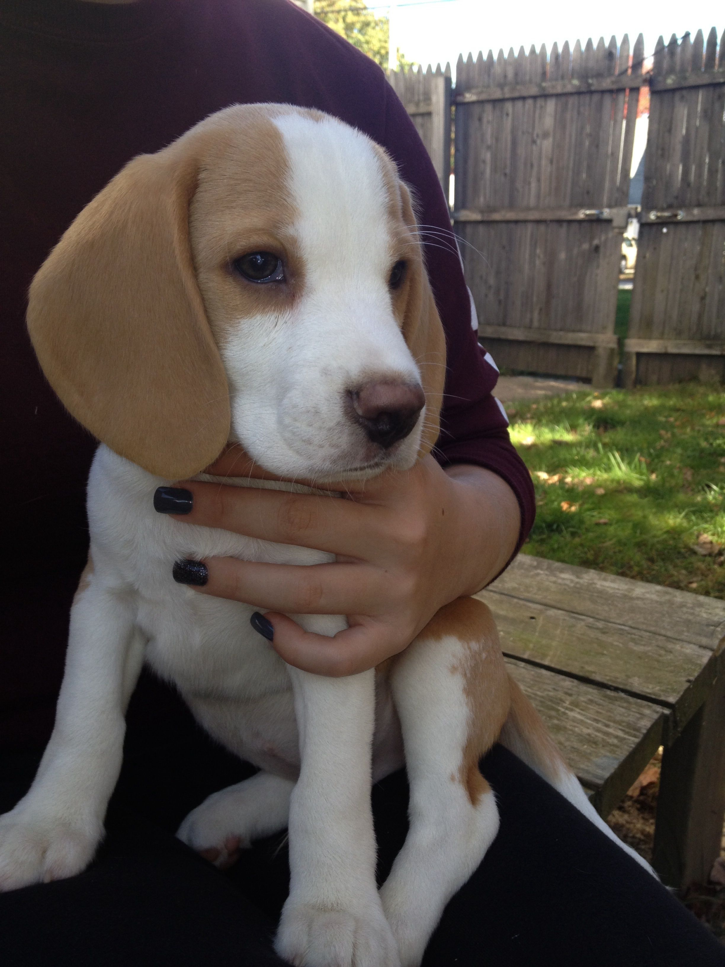Love Those Ears Beagle Puppy Dogs Beagle Puppy Dog Breeds