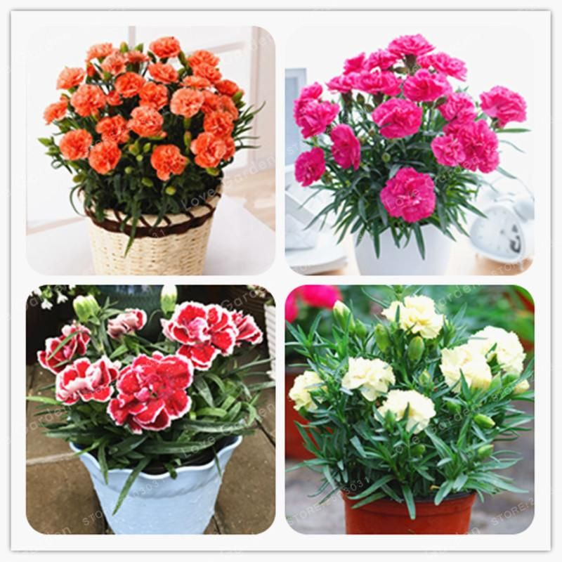 100 Pcs Carnation Seed Perennial Flower High Survival Rate