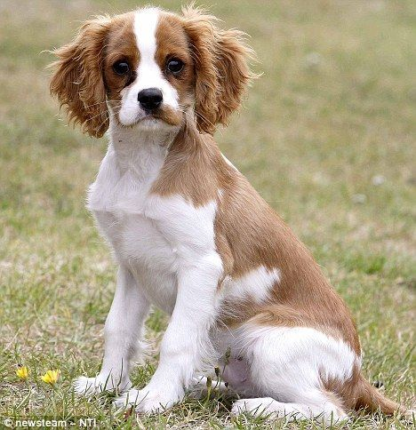 Doggie Family 3 Cavalier King Charles Spaniel Tricolor King Charles Cavalier Spaniel Puppy Cavalier King Charles
