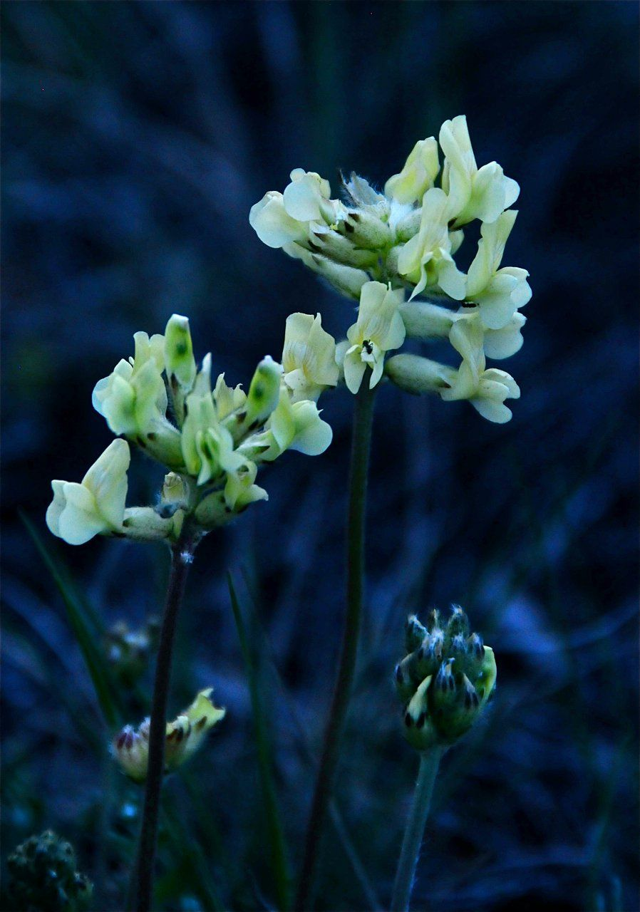 Yellow Locoweed Astragalus And Oxytropis Spp Flowers Leaves