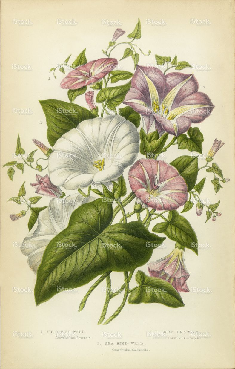 Very Rare, Beautifully Illustrated Antique Engraved ... Morning Glory Botanical Drawing