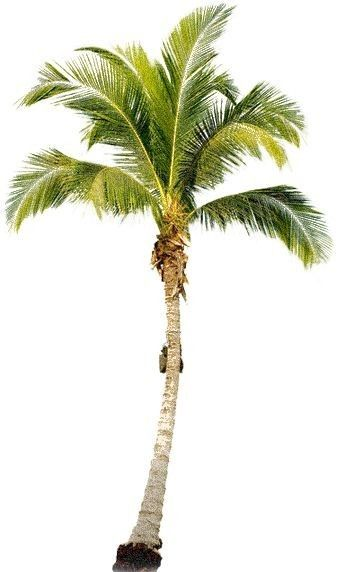 Pin By Lavender On Interer Tree Photoshop Palm Tree Png Coconut Tree Drawing