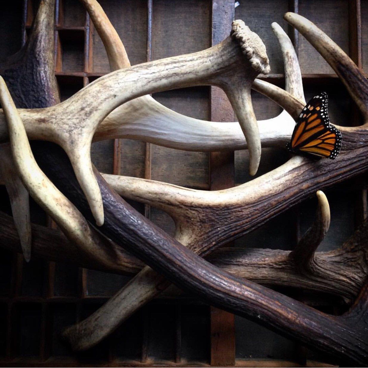 New antlers in stock...