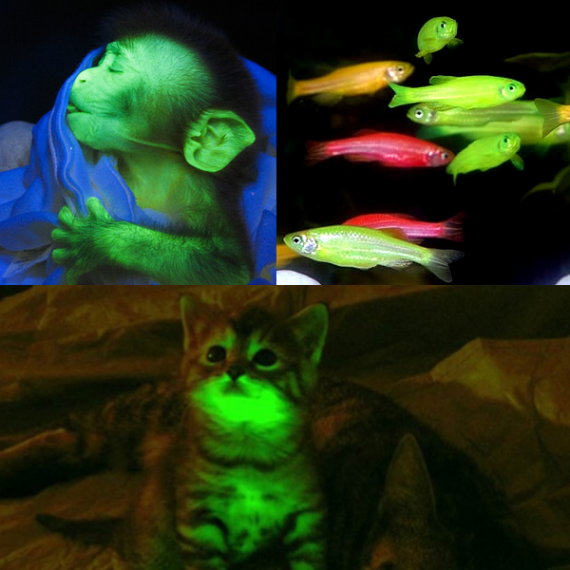 Image result for Man-Made Bioluminescent Animals