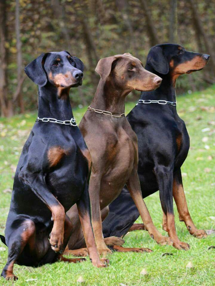 Dogs by Lorrie Slone Doberman pinscher puppy, Doberman
