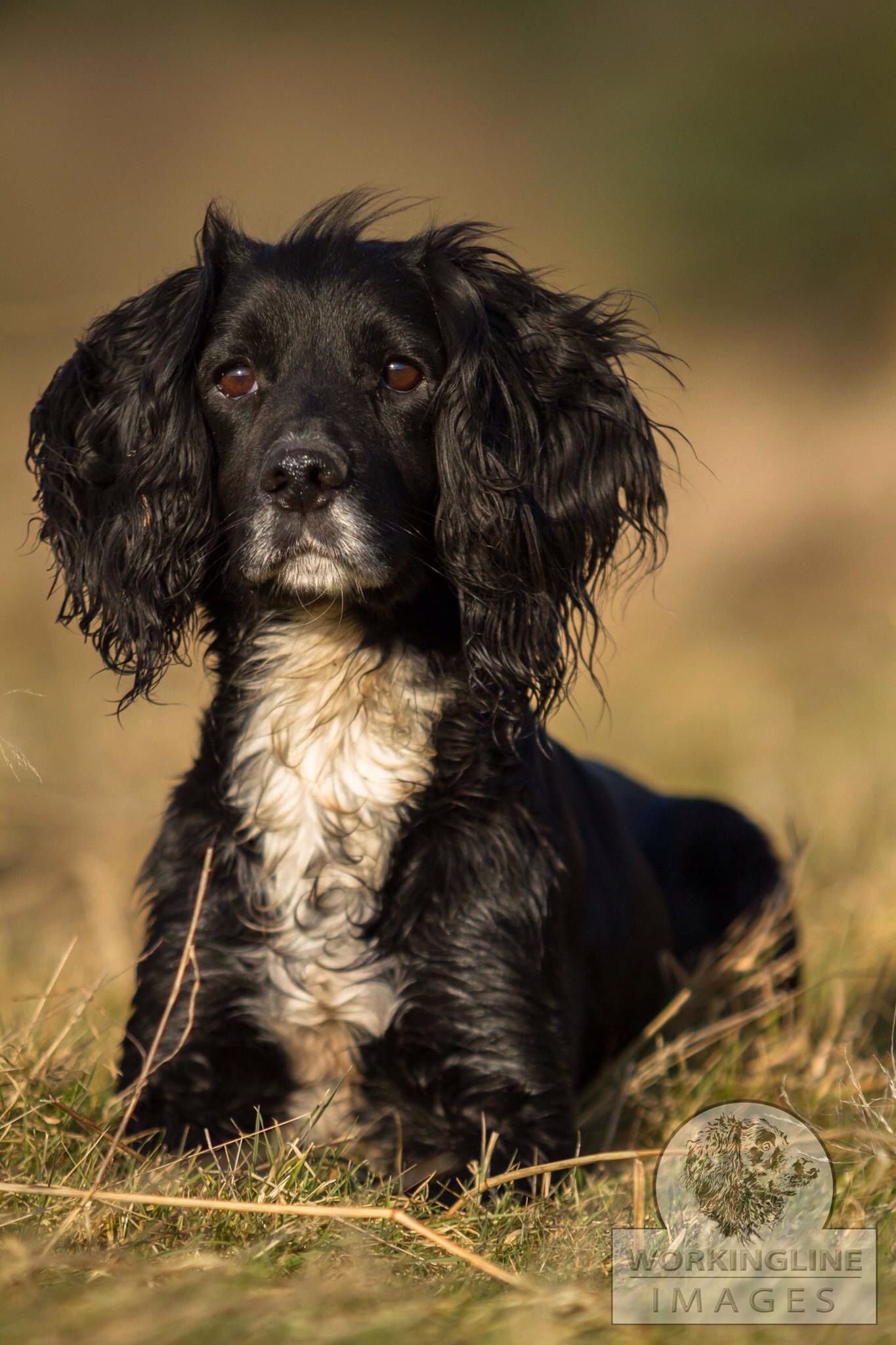 Gorgeous Dog Working Spaniel Spaniel Breeds Beautiful Dogs