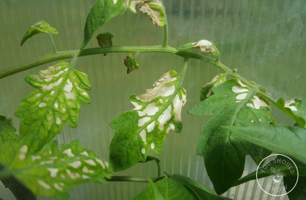 Tomato Leaf Problems A Visual Guide Tomatoes Plants Problems Growing Tomato Plants Tomato Seedlings