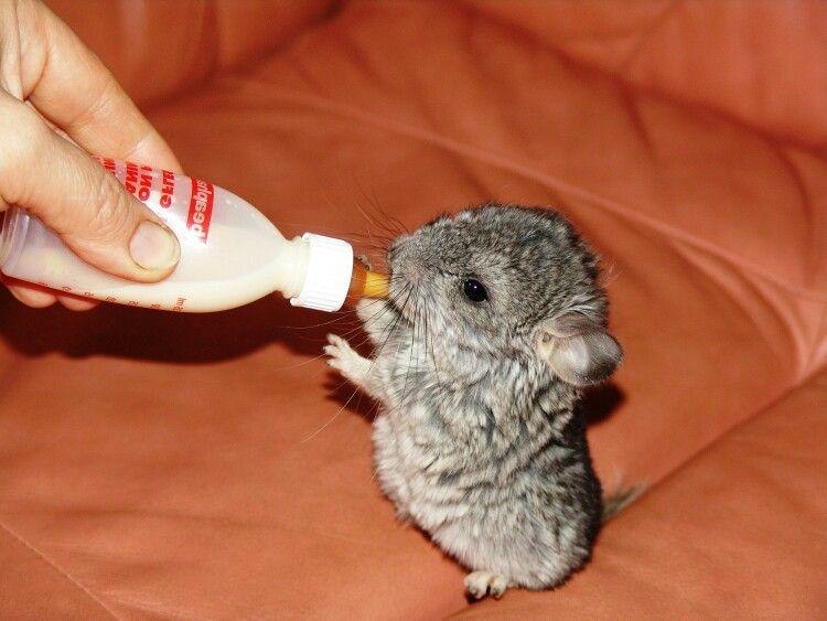 Baby Chinchilla Awww Cute Baby Animals Cute Animals Baby Animals