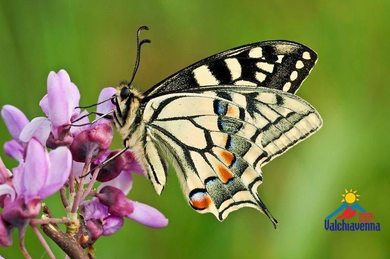 variopinte farfalle - Cerca con Google