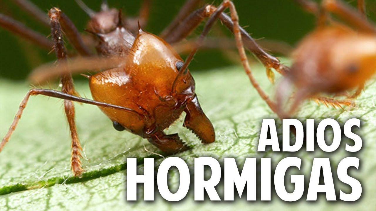 Como Acabar Con Las Pulgas En El Jardin Como Eliminar Las Hormigas Del Huerto Novedosa Receta Casera