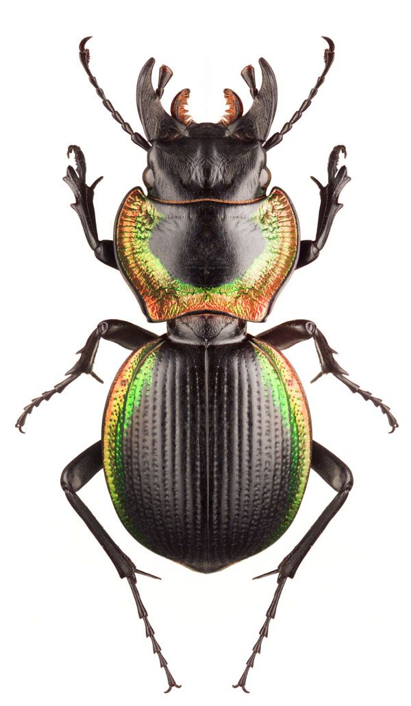 Mouhotia plannipennis_ large ground beetle found in the northern ...