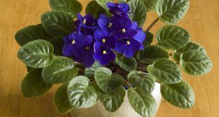 Violeta africana, descripción y cuidados