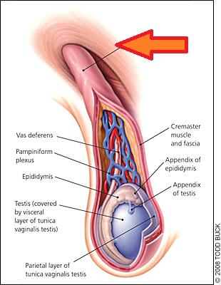 spermatic cord - Cerca con Google | Reproductive Stystem | Pinterest ...