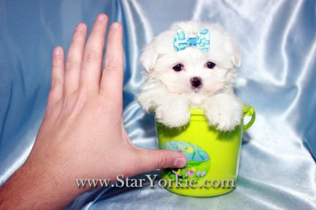 Tea Cup Maltese So Tiny And Cute In Los Angeles California Teacup Puppies Puppies Toy Dog Breeds