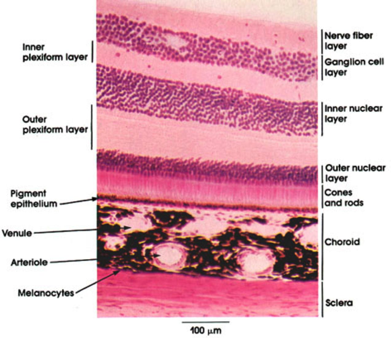 retina and choroid - Google Search | The Eye | Pinterest | Optometry