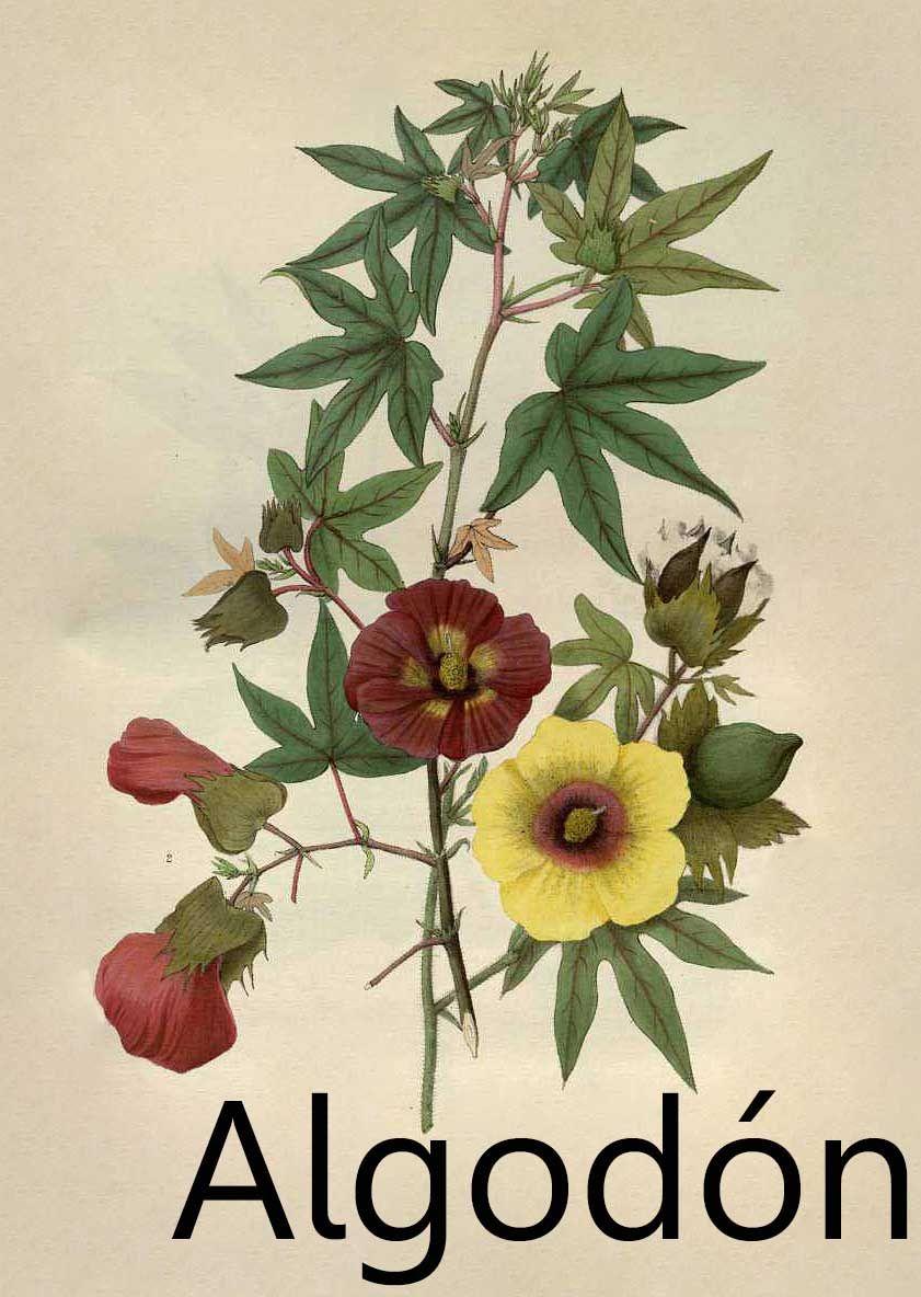 Flor De Algodon Grabados Botanicos Ilustracion De Botanica Ilustraciones Botanicas