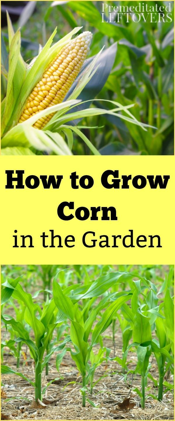 How To Grow Corn Tips For Growing Corn Including How To Plant