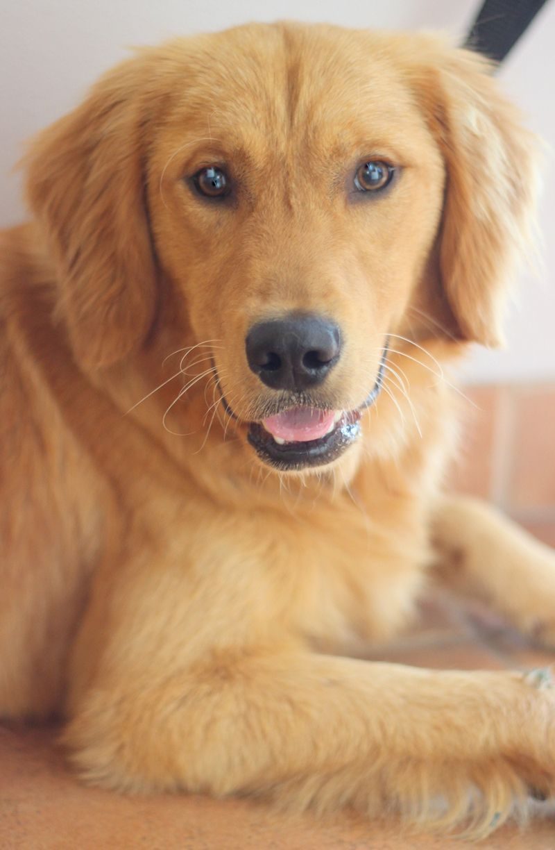 Adopted Thank You Mikey Golden Puppy Golden Retriever Rescue