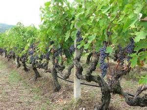 greek grapes and grape vines | Grapes, Canner, Grape vineyard