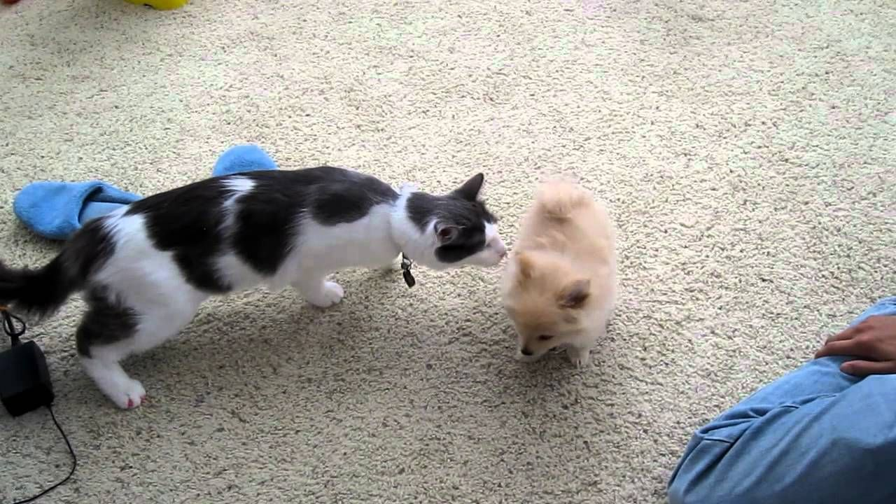 Cat Meets New Puppy For The First Time Cat Meeting Cute Puppy Videos Super Cute Animals