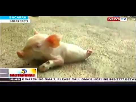 Incredible High-Spirited Two-Legged Piglet_Must See!