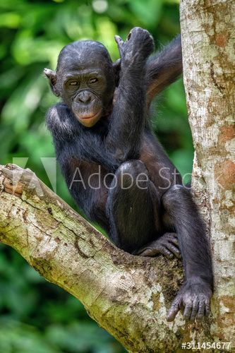 Bonobo on the tree in green jungle. The Bonobo ( Pan paniscus), earlier being called the pygmy chimpanzee. Congo. Africa , #Sponsored, #jungle, #Pan, #paniscus, #Bonobo, #tree #Ad