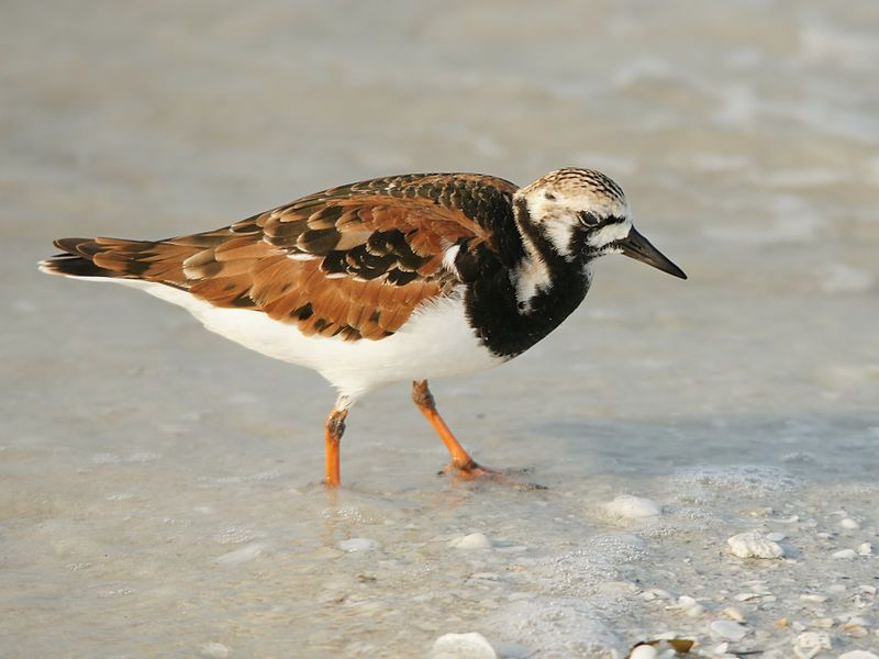Ruddy Turnstone (Arenaria interpres) is a small wading bird, one of two species of turnstone in the genus Arenaria. It is now classified in the sandpiper family Scolopacidae but was formerly sometimes placed in the plover family Charadriidae.
