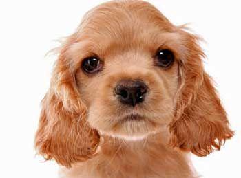 Light golden cocker spaniel puppy with such a cute little ...
