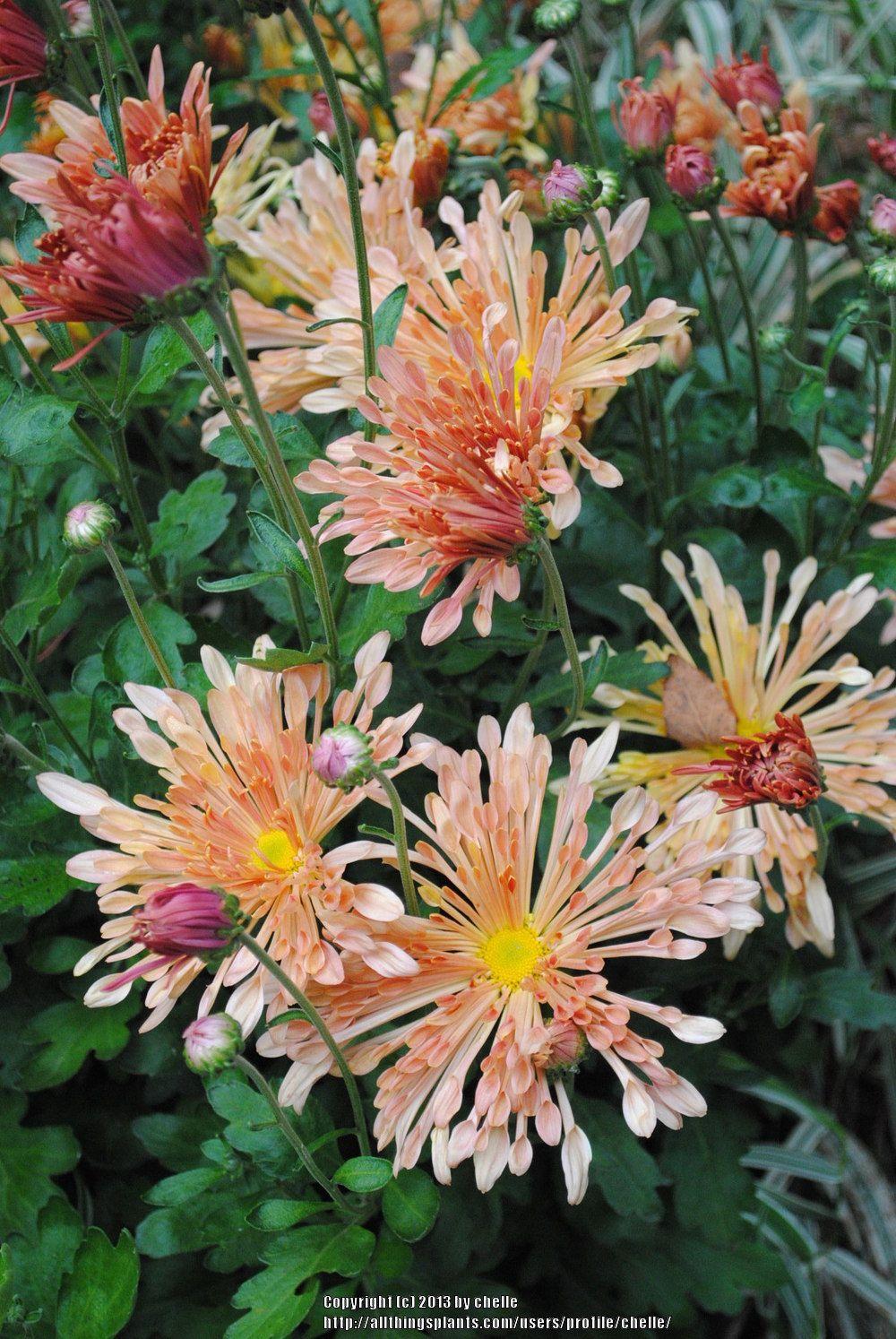 Chrysanthemum Peach Centerpiece Chrysanthemum Beautiful Flowers Pretty Flowers