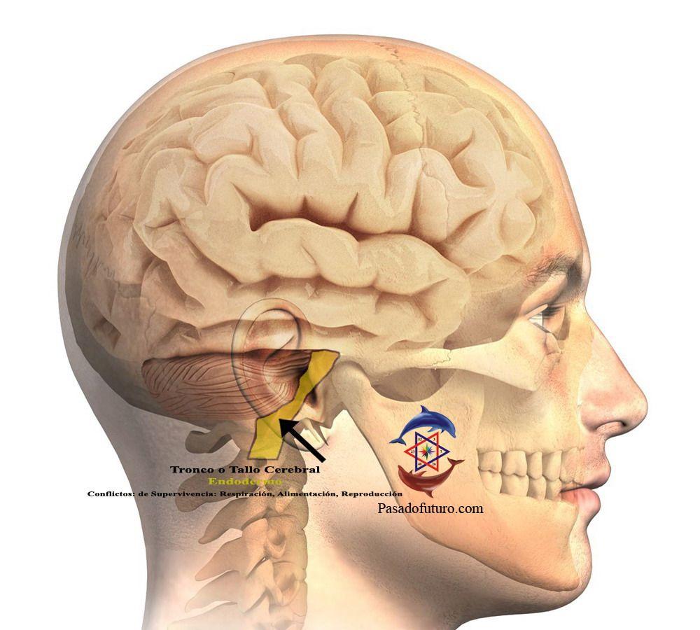 Cérebro humano NMG Hamer alemão Nova Medicina Tronco Encefálico ...
