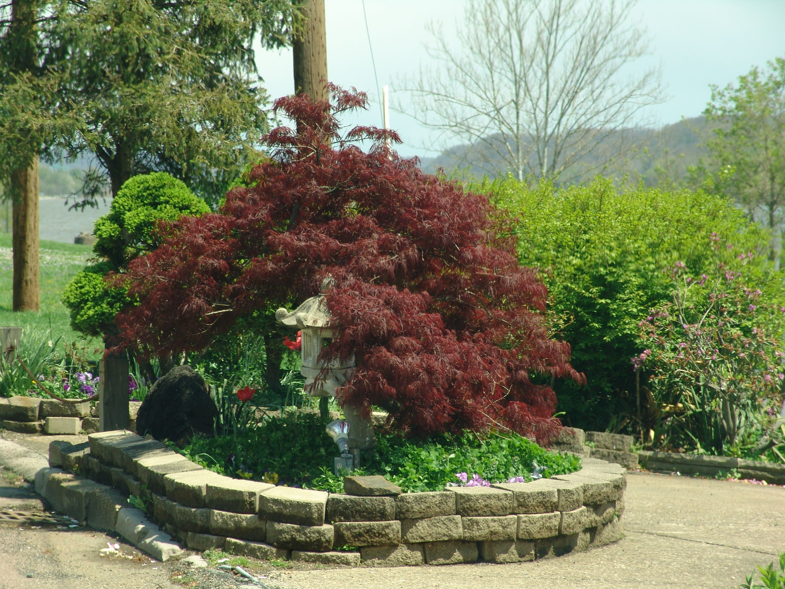 Acer palmatum var dissectum tamukeyama google search for Maple trees for small gardens