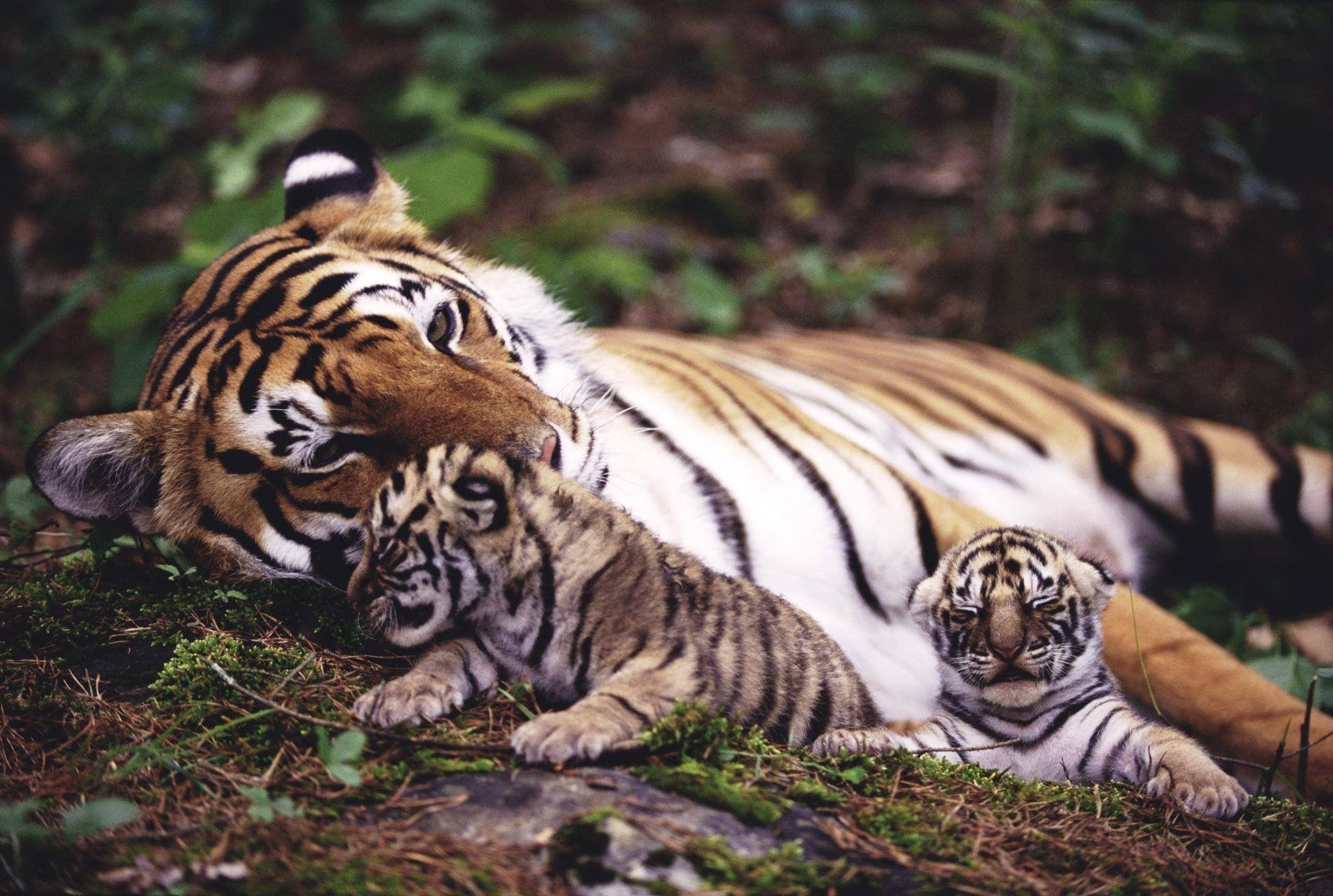 Pin Von Alexander Blieske Auf Katzenwelt Tiger Fotografie Wilde