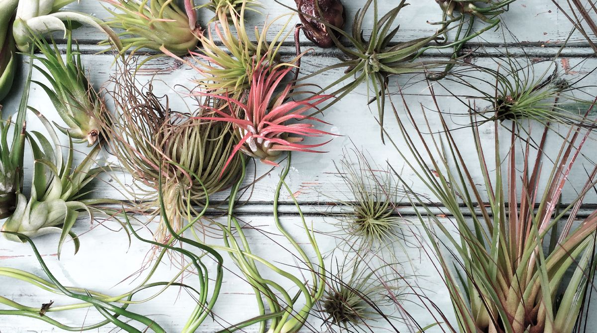 Aeroteket offers beautiful and air purifying Air Plants for your home and your business, as well as for your next event.