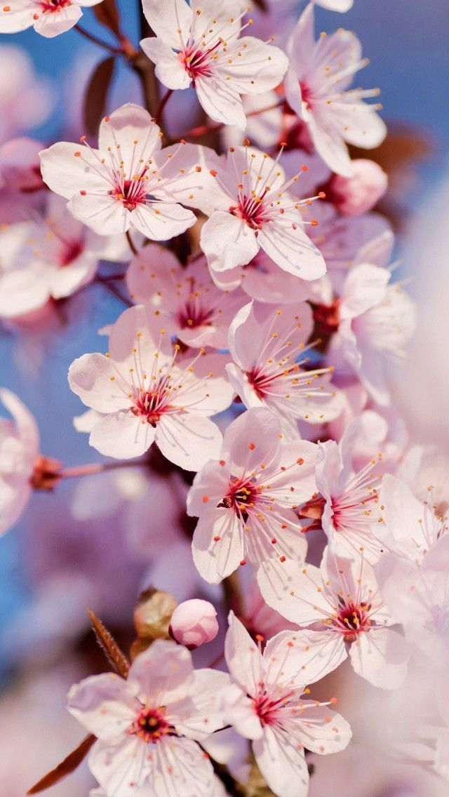 Cherry Blossom Iphone 5 Wallpaper Iphone 5 Wallpapers Gallery Cherry Blossom Wallpaper Spring Wallpaper Flower Wallpaper
