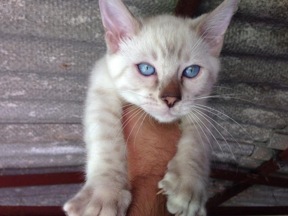 Blue Eyed Blue Snow Bengal Stud Cat For Sale 56a9c7d7d257d Jpg 960