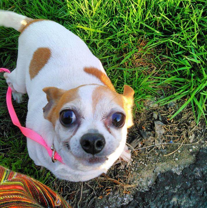 Her's the happiest of poops. #chihuahua #instadogs #bodyguard #dogsofinstagram #dog #vicious #tinydogs #love #allmybabieshavefourfeet #furbabies #adoptlove #adopteddog #adoptaseniordog #loveyouforever #takeawalk #nofilter #springtime #omggrass #awyeah #puppers #seniorchihuahua #adventure #havinanadventure #prettyday #springtimeinkentucky #nofilter Image By: queenofthebears http://bit.ly/teacupdogshq
