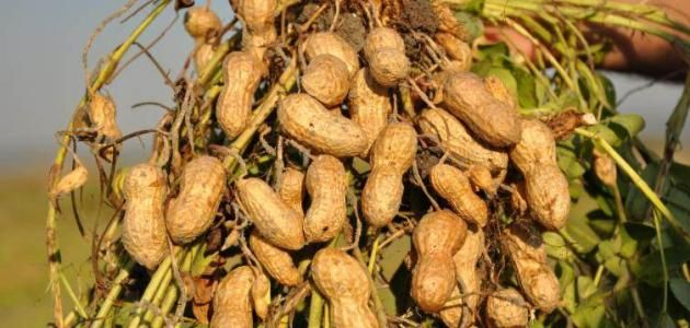 طريقة زراعة الفول السوداني Ile