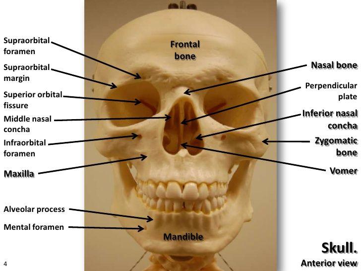 Axial Skeleton Anatomy Visual Guide Ap Pinterest Axial