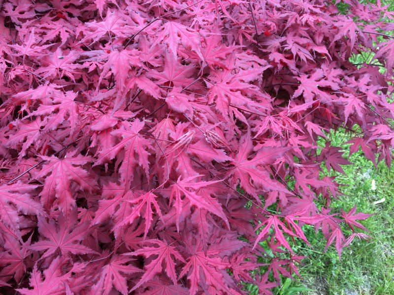 Purple Ghost Japanese Maple At Mikes Plant Farm In Perry Ohio