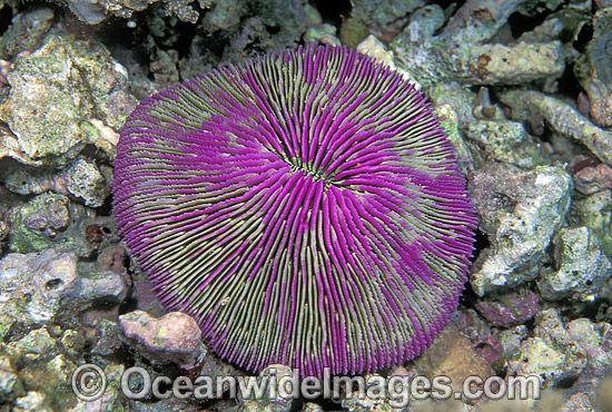 Mushroom Coral Fungia sp. Detail