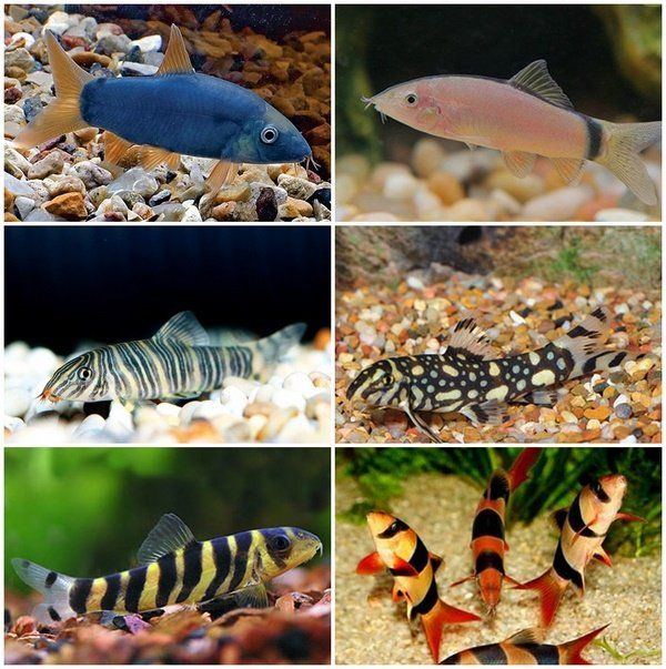 Botia Loach Species Aquascaping Fish Species Bottom Level Fish Freshwater Aquascapes Aquarium Fish Tropical Fish Aquarium Fresh Water Fish Tank