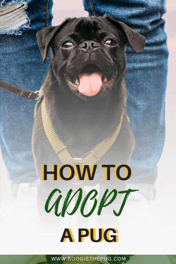 How To Adopt A Pug With Images Pugs For Adoption Pugs Adoption