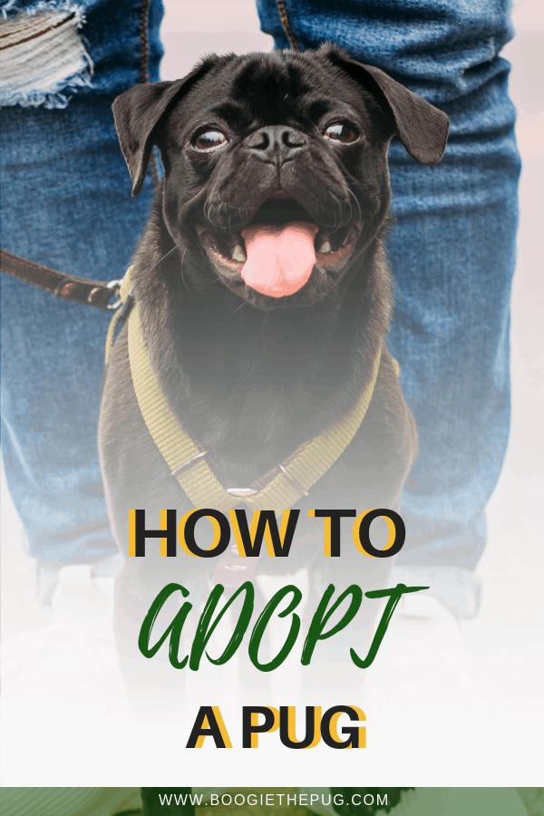 How To Adopt A Pug Pugs For Adoption Pugs Adoption
