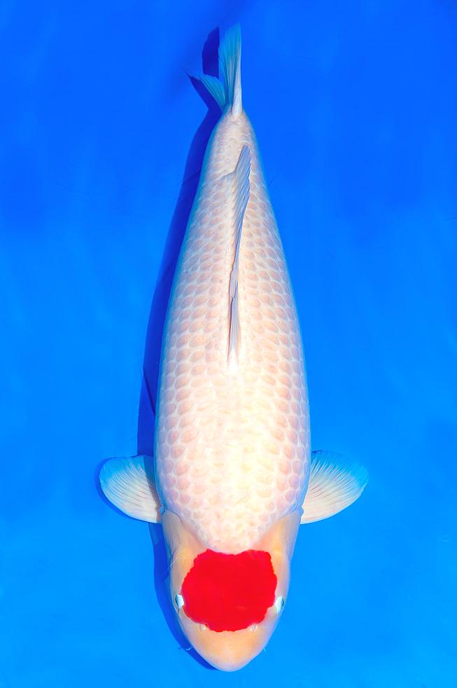 Tancho Kohaku Binatang Ikan